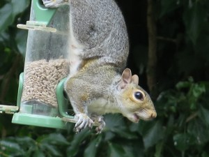 grey squirrel upside down