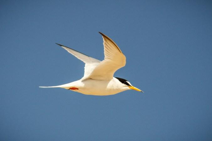 Little tern in flight in Norfolk