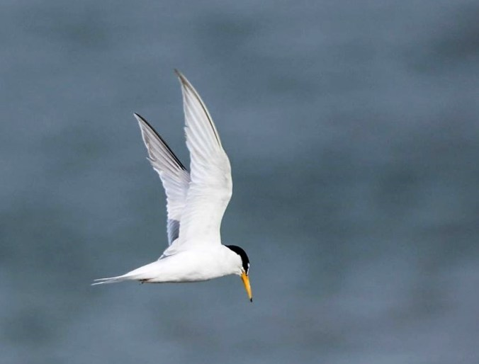 Little tern adult