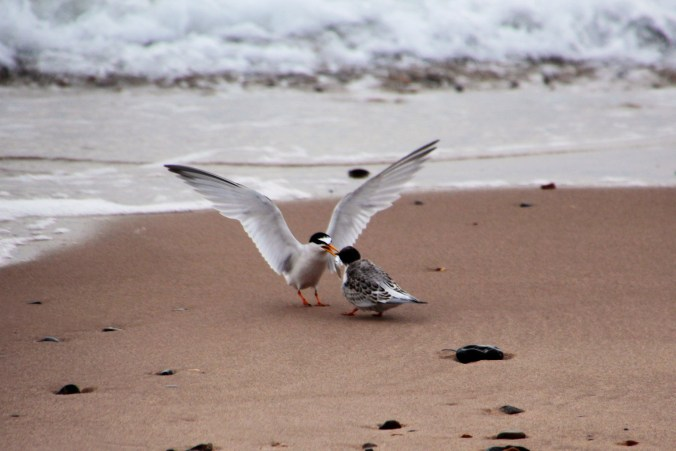 Little tern feeding a fledgling