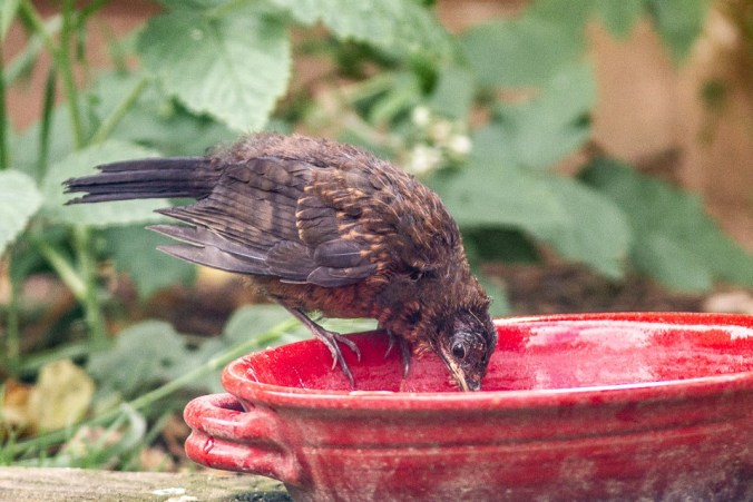 Blackbird fledgling in garden at water dish