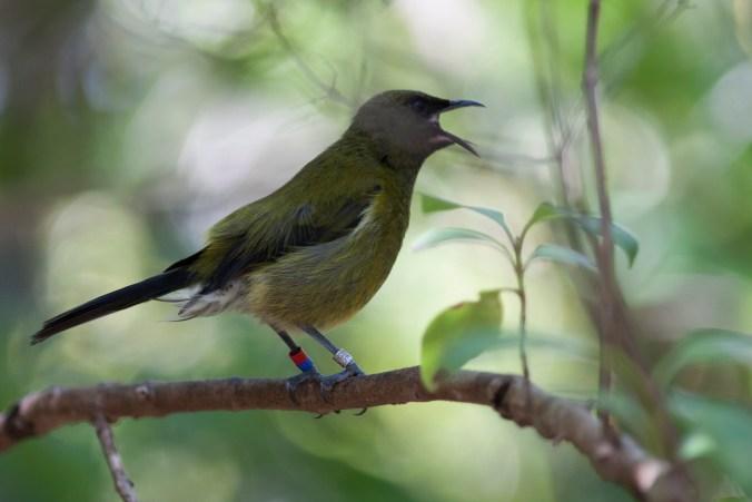 Bellbird New Zealand