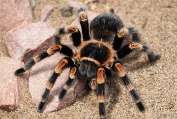 spider venom for chronic pain relief