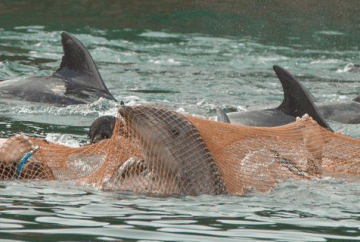 Taiji dolphin animal cruelty