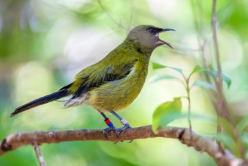 Bellbird native to New Zealand