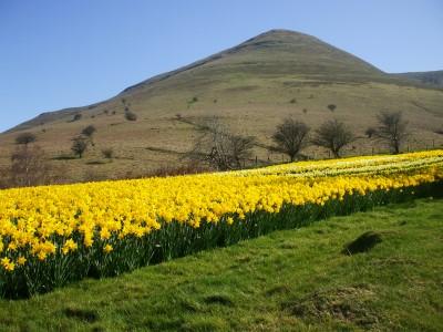 The daffodils are bountiful near Cwm Dwr-y-coed