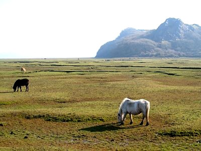Wild ponies graze on the north Gower mud plains
