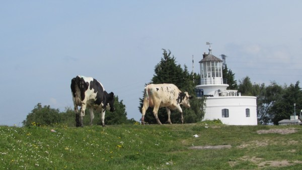 Cows grazing in front of West Usk Lighthouse