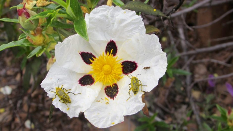 Two pollen-covered beetles on a rock rose