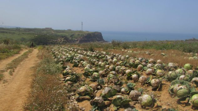 Rotting cabbages near Sao Bernadino, near Peniche, Silver Coast, Portugal