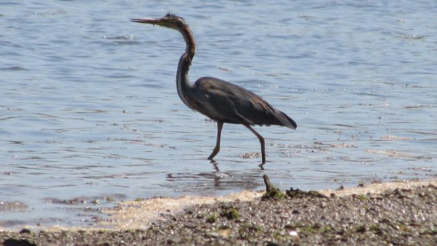 A heron at Obidos lagoon, near Caldas da Rainha