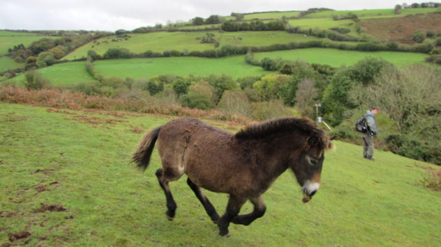 Exmoor pony, Exmoor National Park, Devon