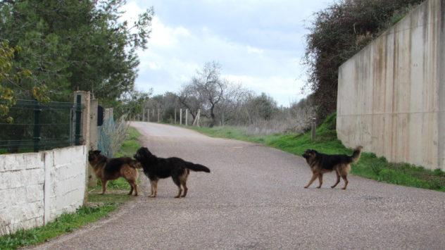 Loose dogs, Zebra planter, Colégio, Algarve