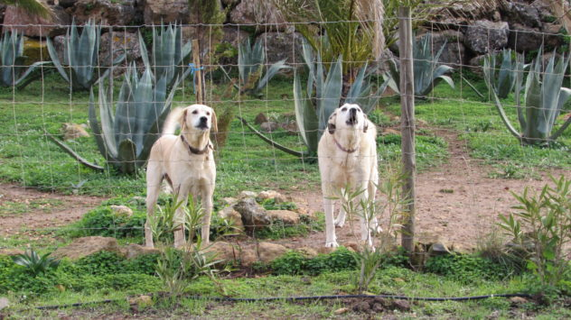 Labradors barking, Algarve