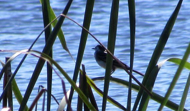 Reed warbler, Parque Ambiental, Vilamoura, Algarve
