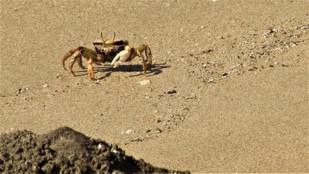 Crab crossing sand, Rio de Alvor at low tide, Western Algarve, Portugal