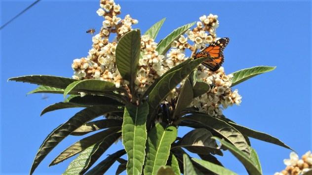 Monarch butterfly near Fontes da Matosa, Silves