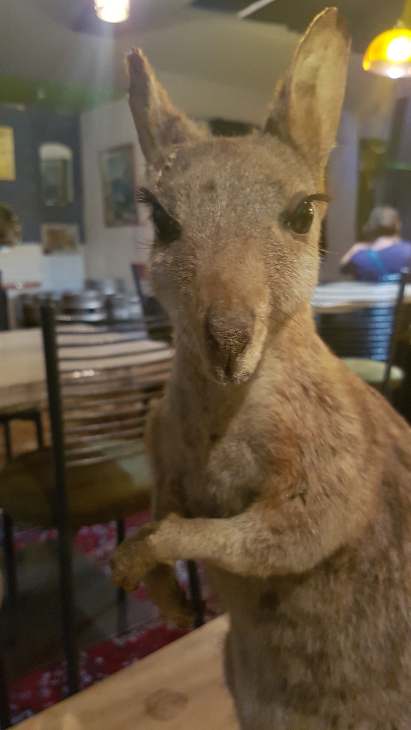 Wallaby at Meow (photo Helen Kettles)