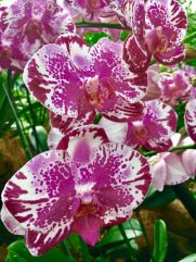 orchid 25