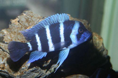 摩巴藍六間魚