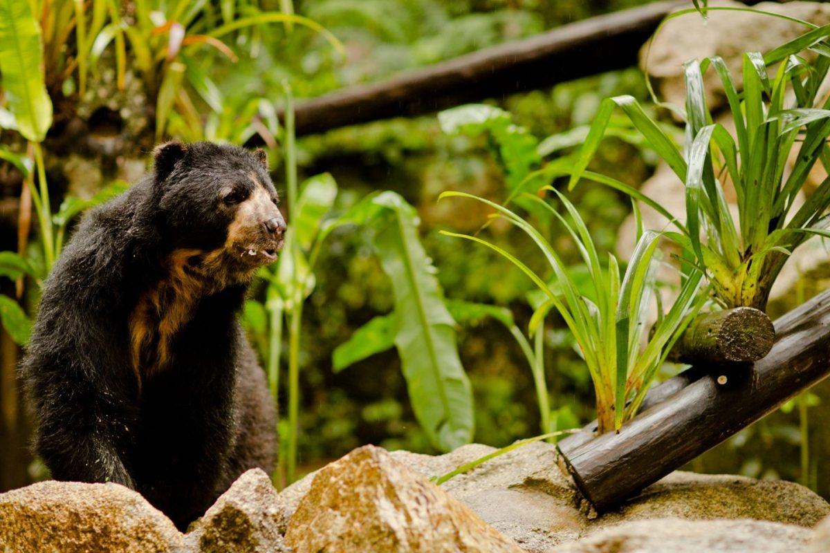 Andean Bear, Peru