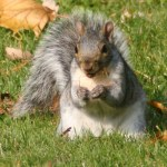 eastern_gray_squirrel