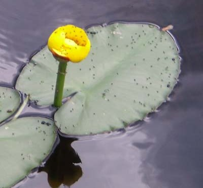 Yellow Water Lily – Nymphaeaceae