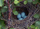 Chipping Sparrow nest
