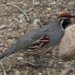 gambles_quail