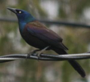 "Common Grackles are very ""common"" blackbirds."