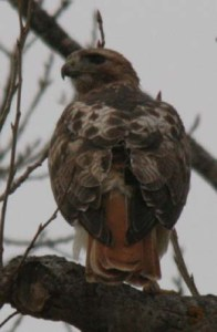"""The red-tailed hawk (Buteo jamaicensis) is a bird of prey, one of three species colloquially known in the United States as the """"chickenhawk,"""""""