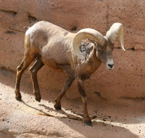 Bighorn sheep get their name from the large, curved horns on the males, or rams. They are legendary for their ability to climb high, steep, rocky mountain areas.