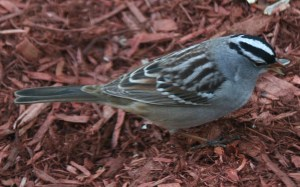 The White-crowned Sparrow is a large sparrow