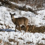 white_tailed_deer_picture