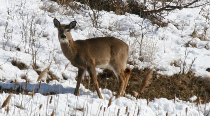 White-Tailed Deer – Information, Identification