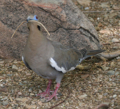 White-winged Dove – Zenaida asiatica