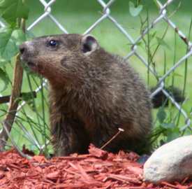 Groundhog in the flower garden