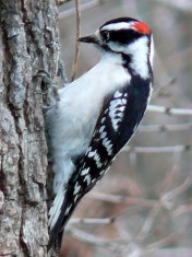 The male downy woodpecker may be identified by the red patch on the nape of the neck