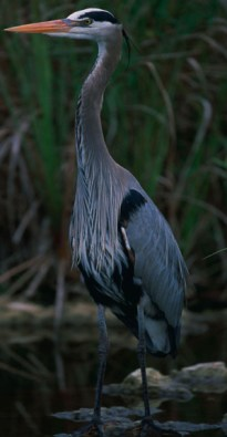 The tall, long-legged great blue heron is the most common and largest of North American herons