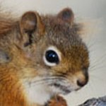 red_squirrel_thumb
