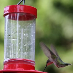 Ruby-Throated Hummingbird is a solitary species and typically only interact for breeding or territorial purposes.