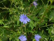 Chicory is grown for its roots that chicory coffee can be made from