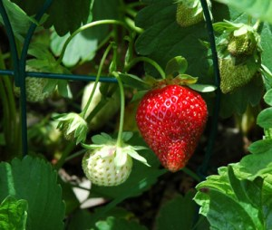 Strawberry are great fruits to grow in the vegetable garden. Ordinary strawberry fruit ripen in June in the Northeast US