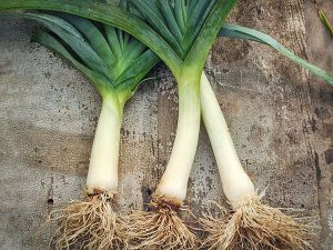 The leek is known as the gourmet's onion because of their mild flavor