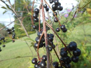 Chokecherry trees can be grown from seeds or cuttings.