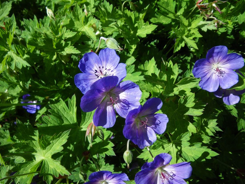 Blå blommor Näva