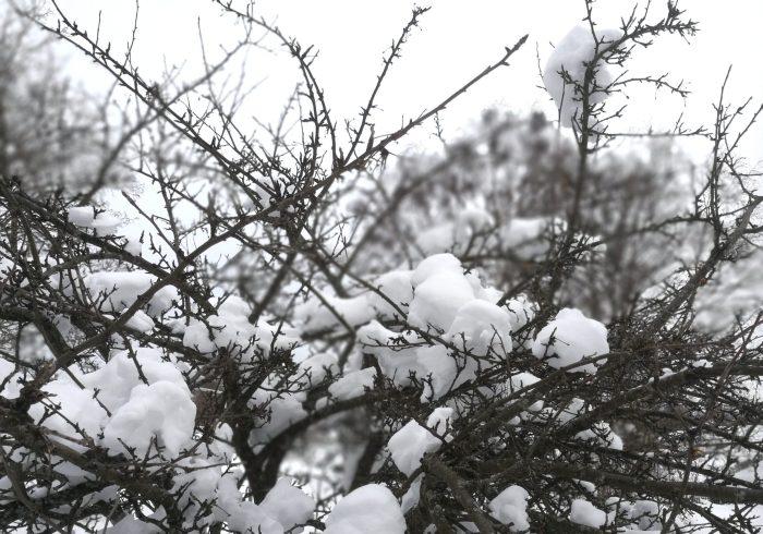 Äppelträd med snö på kvistarna