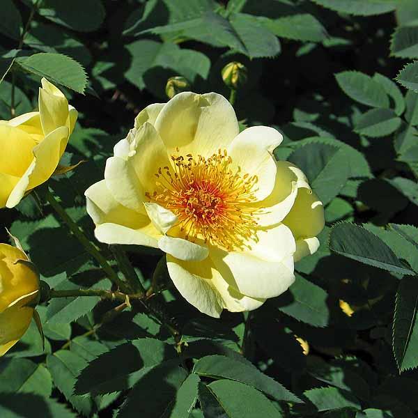 'Aïcha' - spinossissimarosor