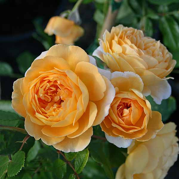 'Crown Princess Margareta'