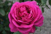 'Goethe Rose' - tehybridrosor